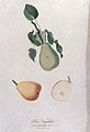 Pear (Pyrus species); fruiting branch with sections of fruit Wellcome V0043137.jpg