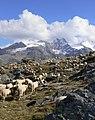 Pecore in Paradiso 2.jpg