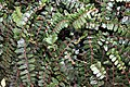 Pellaea rotundifolia 4zz.jpg