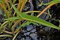 Peltandra virginica kz01.jpg