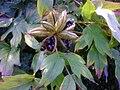 Peonia-seeds.jpg