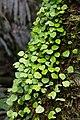 Peperomia serpens (Piperaceae) (29347100894).jpg