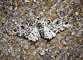 Peppered Moth (41494118004).jpg