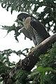 Peregrine Falcon (220415960).jpg