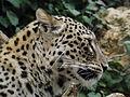 Persian Leopard 08.jpg