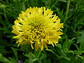 Petite fleur jaune.jpg