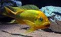 Petrochromis sp.Moshi.jpg