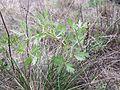 Peucedanum oreoselinum sl1.jpg