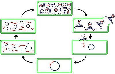 phage viruses reproduce through the lytic cycle