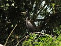 Phalacrocorax brasileanus (Cormorán neotropical) (14129739699).jpg