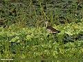 Pheasant-tailed Jacana (Hydrophasianus chirurgus) (33098396831).jpg