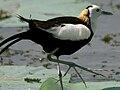 Pheasant-tailed Jacana (Hydrophasianus chirurgus) toes W2 IMG 8525.jpg