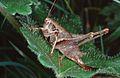 Pholidoptera.griseoaptera.01.jpg