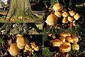 Pholiota squarrosa ( GB= Shaggy Scalycap, D= Sparrige Schüppling, F= Pholiote écailleuse, NL= Schubbige bundelzwam) white spores and causes white rot, at Arnhem. The small insert is the situation of 4 years ago - panoramio.jpg
