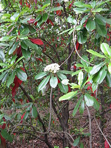 Photinia serratifolia2.jpg