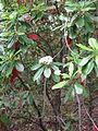 Photinia serratifolia2.jpg