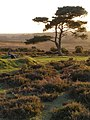Photogenic pine at Bratley View, New Forest - geograph.org.uk - 328202.jpg