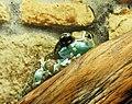 Phrynohyas resinifictrix in Mykolaiv Zoo.JPG