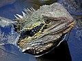 Physignathus lesueurii -Brisbane, Australia-8.jpg