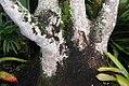 Phytolacca dioica 21zz.jpg
