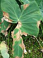 Phytophthora leaf blight of taro (Colocasia esculenta) (14626915257).jpg