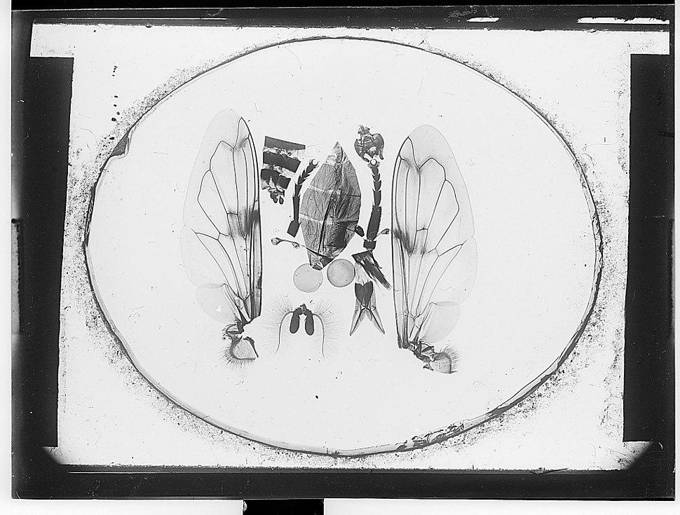 Pièces anatomiques d'un diptère - Fonds Trutat - MHNT.PHa.138.B16.10