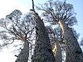 Pi de les Quatre Besses del Dalmau (setembre 2011) - panoramio.jpg