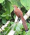 Piaya cayana (Cuco ardilla - Squirrel cuckoo) (45788138352).jpg