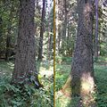 Picea abies buttress 1 beentree.jpg