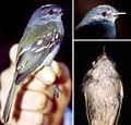 Pics of male paratype - Myiopagis olallai coopmansi (15323404029).jpg