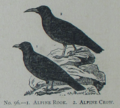 Picture Natural History - No 96 - Alpine Rook - Alpine Crow.png