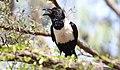 Pied Crow (Corvus albus) (46574963411).jpg