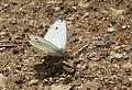 Pieris mannii - Mann'ın beyazmeleği 01.jpg