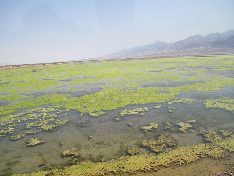אצות בבריכות המלח בעברונה
