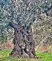 PikiWiki Israel 74002 old olive tree.jpg