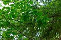 Pimpernussbaum 2254.jpg