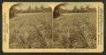 Pine apple gardens, Fla., U.S.A. Ananas Garten, from Robert N. Dennis collection of stereoscopic views.png