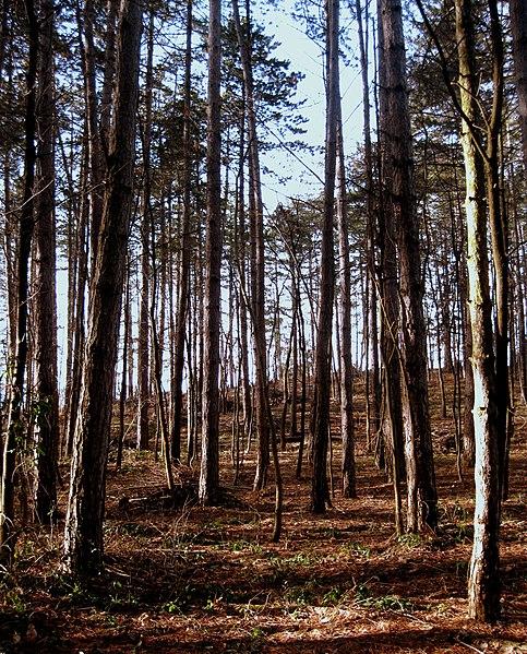 File:Pineta - panoramio (1).jpg