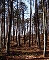 Pineta - panoramio (1).jpg