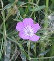 Pink flower 02 bgiu.jpg