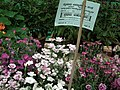 Pinks from Lalbagh flower show Aug 2013 8001.JPG