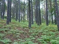 Pinus nigra Troodos.jpg