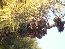 Pinus radiata fruit.JPG