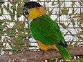 Pionites melanocephalus -captivity-6.jpg