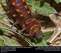 Pipevine Swallowtail caterpillar (Papilionidae, Battus philenor) (25757820103).jpg