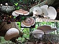 Piptoporus betulinus (Birch Polypore or Razorstrop Fungus or Birch Bracket, D= Birchenporling, F= Polypore du bouleau, NL= Berkenzwam), white spores, causes brownrot. Here a young and a grown up species together at tha - panoramio.jpg
