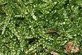 Plagiothecium curvifolium (b, 144830-474708) 6143.JPG