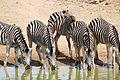 Plains Zebras (Equus quagga burchellii) drinking ... (32117288685).jpg