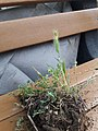 Plant wild wheat unknown grass 2020 04.jpg