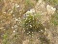 Planta silvestre en Mazur Chavinillo-20121217-1556.JPG
